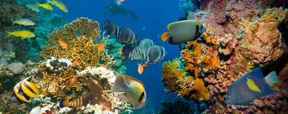 Τροπικά ψάρια Anthias με τα καθαρά κοράλλια πυρκαγιάς Στοκ εικόνες με δικαίωμα ελεύθερης χρήσης