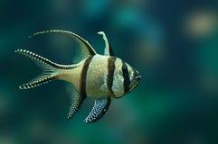 Τροπικά ψάρια Banggai cardinalfish Στοκ Εικόνα