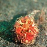 Τροπικά ψάρια frogfish στοκ εικόνες