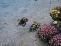 Τροπικά ψάρια lionfish στοκ φωτογραφίες
