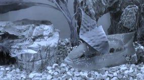 Τροπικά ψάρια Salvini Στοκ φωτογραφίες με δικαίωμα ελεύθερης χρήσης