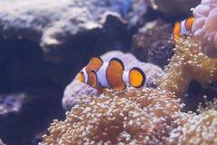 Τροπικά anemone θάλασσας και percula Amphiprion ψαριών κλόουν Στοκ φωτογραφίες με δικαίωμα ελεύθερης χρήσης