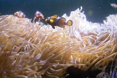 Τροπικά anemone θάλασσας και percula Amphiprion ψαριών κλόουν Στοκ Εικόνα