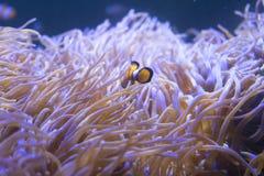 Τροπικά anemone θάλασσας και percula Amphiprion ψαριών κλόουν Στοκ εικόνα με δικαίωμα ελεύθερης χρήσης