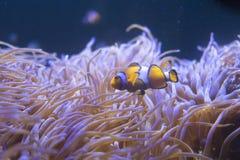 Τροπικά anemone θάλασσας και percula Amphiprion ψαριών κλόουν Στοκ εικόνες με δικαίωμα ελεύθερης χρήσης