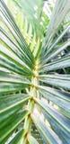Τροπικά Areca Betel πράσινα φύλλα φοινικών Στοκ φωτογραφία με δικαίωμα ελεύθερης χρήσης