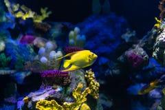 Τροπικά ciliaris βασίλισσας angelfish Holacanthus ψαριών στοκ φωτογραφία με δικαίωμα ελεύθερης χρήσης
