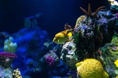 Τροπικά ciliaris βασίλισσας angelfish Holacanthus ψαριών στοκ εικόνες με δικαίωμα ελεύθερης χρήσης