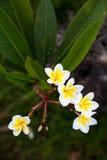 Τροπικά frangipani & x28 λουλουδιών plumeria& x29  στο πράσινο υπόβαθρο Στοκ εικόνες με δικαίωμα ελεύθερης χρήσης