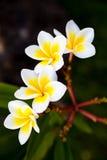 Τροπικά frangipani & x28 λουλουδιών plumeria& x29  στο πράσινο υπόβαθρο Στοκ Εικόνες