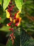 Τροπικές εγκαταστάσεις Heliconia στο λουλούδι Στοκ Φωτογραφίες