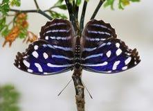 Τροπικές πεταλούδες ethusa Myscelia φτερών πεταλούδων μπλε Στοκ Εικόνα