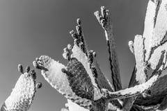 Τροπικές πράσινες εγκαταστάσεις κάκτων ανθών, επάνω κάκτων τραχιών αχλαδιών στενό, κάκτος ή Opuntia Microdasys αυτιών λαγουδάκι Στοκ Εικόνες