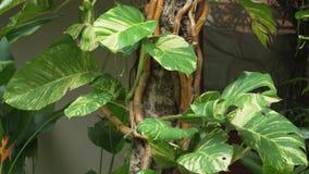 Τροπική άμπελος τα μεγάλα φύλλα που τυλίγονται με γύρω από το βίντεο μήκους σε πόδηα αποθεμάτων κορμών δέντρων απόθεμα βίντεο