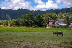Τροπική επαρχία με το πράσινους δάσος, τον τομέα και τους βούβαλους Αγροτικό κτήριο και ζώο Carabao ταύρος στο ηλιόλουστο τοπίο στοκ εικόνες
