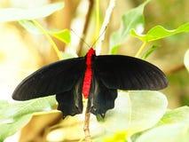 Τροπική ζωηρόχρωμη πεταλούδα Στοκ φωτογραφία με δικαίωμα ελεύθερης χρήσης