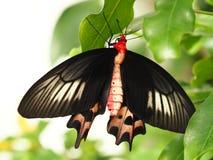 Τροπική ζωηρόχρωμη πεταλούδα στοκ φωτογραφίες με δικαίωμα ελεύθερης χρήσης