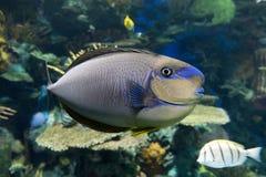 Τροπική θάλασσα vlamingii Naso Bignose unicornfish και ωκεάνια ψάρια Στοκ εικόνες με δικαίωμα ελεύθερης χρήσης