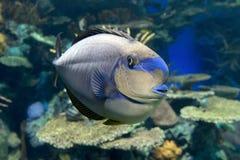 Τροπική θάλασσα vlamingii Naso Bignose unicornfish και ωκεάνια ψάρια Στοκ Φωτογραφίες