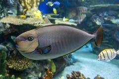 Τροπική θάλασσα vlamingii Naso Bignose unicornfish και ωκεάνια ψάρια Στοκ φωτογραφίες με δικαίωμα ελεύθερης χρήσης