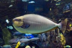 Τροπική θάλασσα vlamingii Naso Bignose unicornfish και ωκεάνια ψάρια Στοκ φωτογραφία με δικαίωμα ελεύθερης χρήσης
