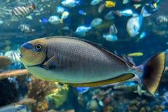 Τροπική θάλασσα vlamingii Naso Bignose unicornfish και ωκεάνια ψάρια Στοκ Εικόνες