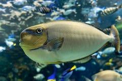 Τροπική θάλασσα vlamingii Naso Bignose unicornfish και ωκεάνια ψάρια Στοκ εικόνα με δικαίωμα ελεύθερης χρήσης