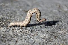 Τροπική κάμπια armyworm Στοκ Εικόνα