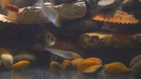 Τροπική μαύρη φούστα ψαριών τετρα στο υπόβαθρο των πετρών και άλλων ψαριών στο ενυδρείο απόθεμα βίντεο