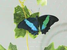 Τροπική νεράιδα πεταλούδων Στοκ φωτογραφία με δικαίωμα ελεύθερης χρήσης