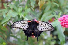 Τροπική πεταλούδα στο φυσικό βιότοπό του Στοκ εικόνες με δικαίωμα ελεύθερης χρήσης
