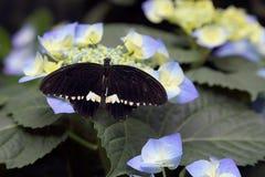 Τροπική πεταλούδα στο φυσικό βιότοπό του Στοκ εικόνα με δικαίωμα ελεύθερης χρήσης