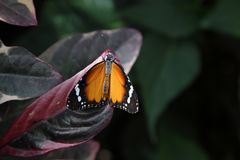 Τροπική πεταλούδα στο φυσικό βιότοπό του Στοκ Εικόνες