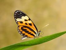 Τροπική πεταλούδα στο φύλλο Στοκ εικόνα με δικαίωμα ελεύθερης χρήσης
