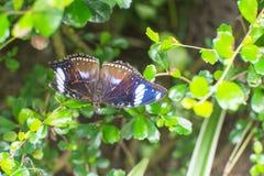 Τροπική πεταλούδα Στοκ Εικόνα