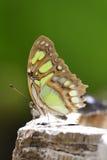 Τροπική πεταλούδα Στοκ εικόνα με δικαίωμα ελεύθερης χρήσης