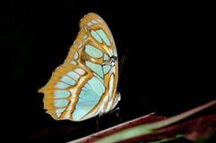 Τροπική πεταλούδα Στοκ Εικόνες