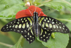 Τροπική πεταλούδα Στοκ Φωτογραφίες