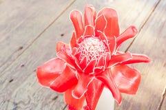 Τροπική πιπερόριζα φανών λουλουδιών κόκκινη Στοκ Φωτογραφίες