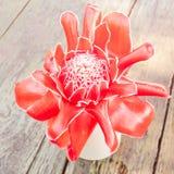 Τροπική πιπερόριζα φανών λουλουδιών κόκκινη Στοκ φωτογραφία με δικαίωμα ελεύθερης χρήσης