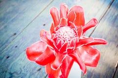 Τροπική πιπερόριζα φανών λουλουδιών κόκκινη Στοκ Εικόνες