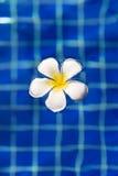 Τροπική πισίνα frangipani plumeria λουλουδιών Στοκ Εικόνες