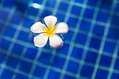 Τροπική πισίνα frangipani plumeria λουλουδιών Στοκ Φωτογραφίες