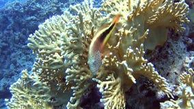 Τροπική σκηνή κοραλλιογενών υφάλων με το hawkfish στα σκληρά κοράλλια φιλμ μικρού μήκους