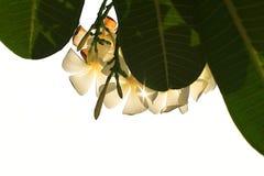 Τροπική σκιαγραφία plumeria frangipani λουλουδιών στο άσπρο υπόβαθρο Στοκ Εικόνα