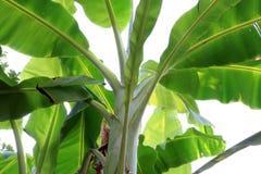 Τροπική σύσταση φύλλων μπανανών, μεγάλο φύλλωμα φοινικών φυσικό στο πράσινο υπόβαθρο στοκ εικόνες