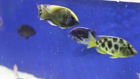 Τροπική τροφή ψαριών ενυδρείων στο καθαρό διαφανές νερό φιλμ μικρού μήκους