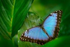 Τροπική φύση στη Νικαράγουα Μπλε πεταλούδα, Morpho peleides, που κάθεται στα πράσινα φύλλα Μεγάλη πεταλούδα στο δασικό σκούρο πρά Στοκ Εικόνα
