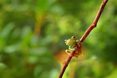 Τροπική φύση στο δασικό βάτραχο ελιών, elaeochroa Scinax, που κάθεται στο μεγάλο πράσινο φύλλο Βάτραχος με το μεγάλο μάτι Συμπερι Στοκ φωτογραφία με δικαίωμα ελεύθερης χρήσης