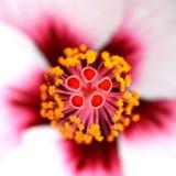 Τροπική hibiscus μακροεντολή λουλουδιών Στοκ φωτογραφίες με δικαίωμα ελεύθερης χρήσης